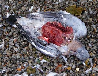 Pigeons (2)